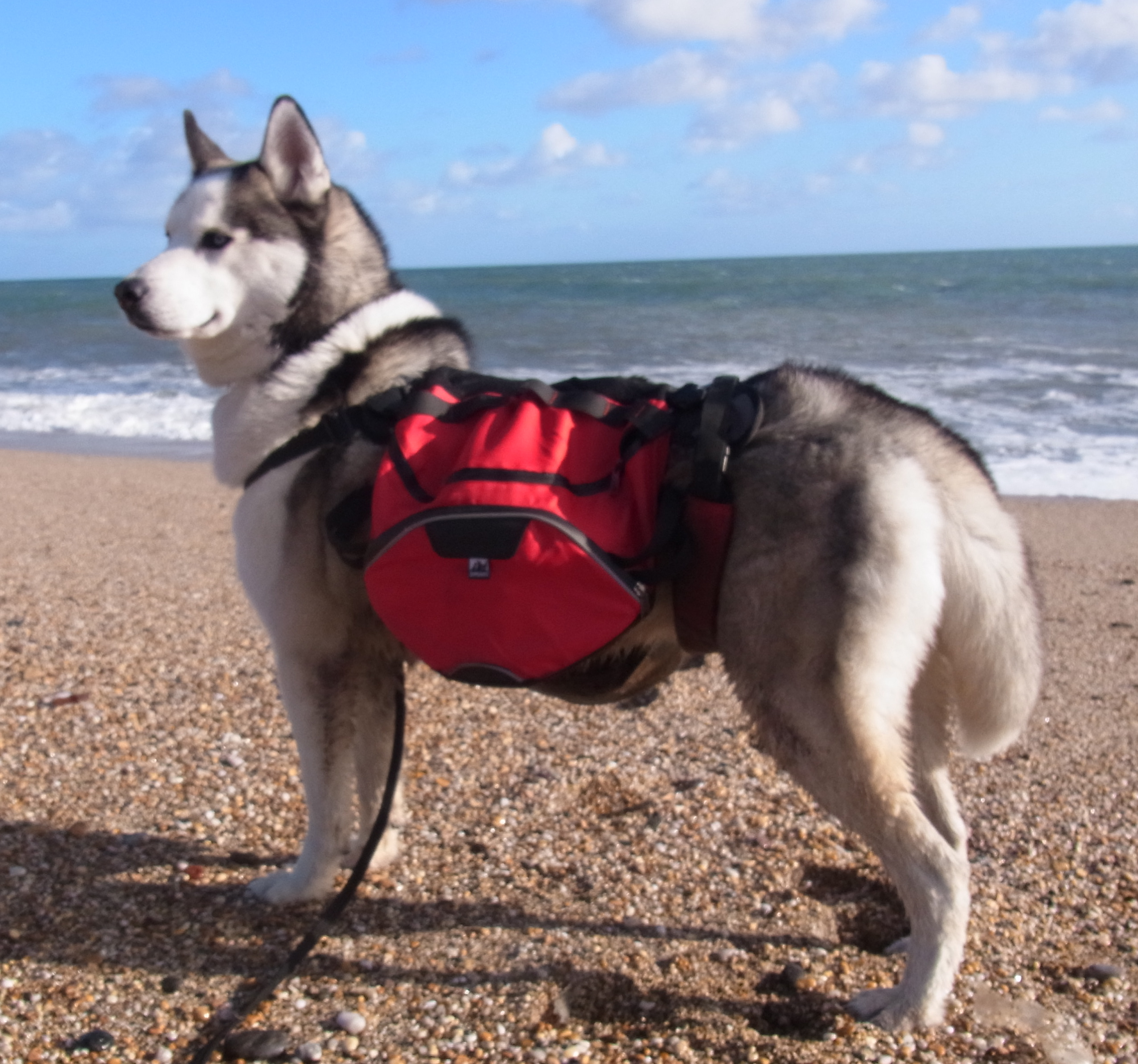 Siberian Husky Vadim on Slapton Sands