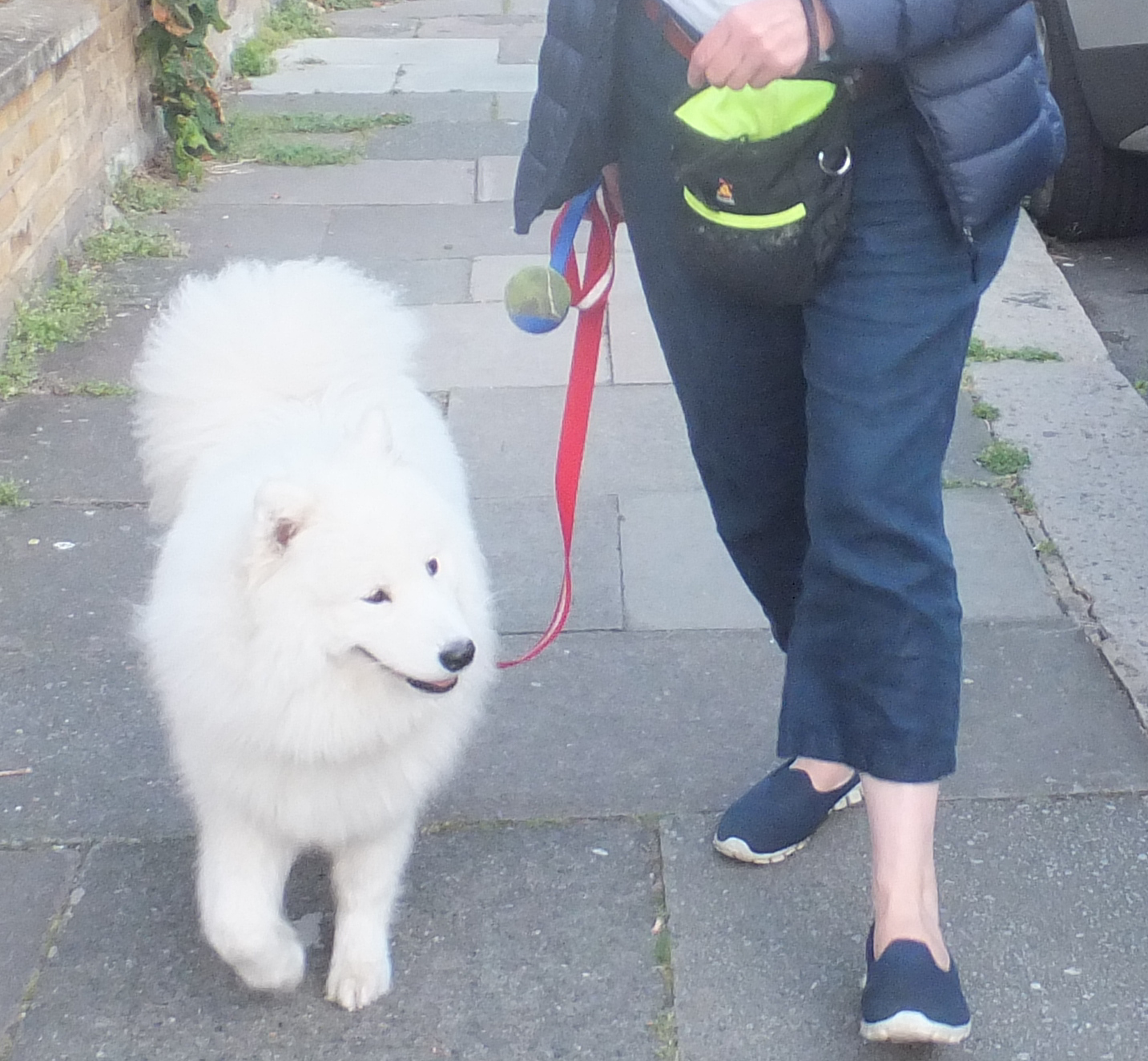 Samoyed walking on a loose lead
