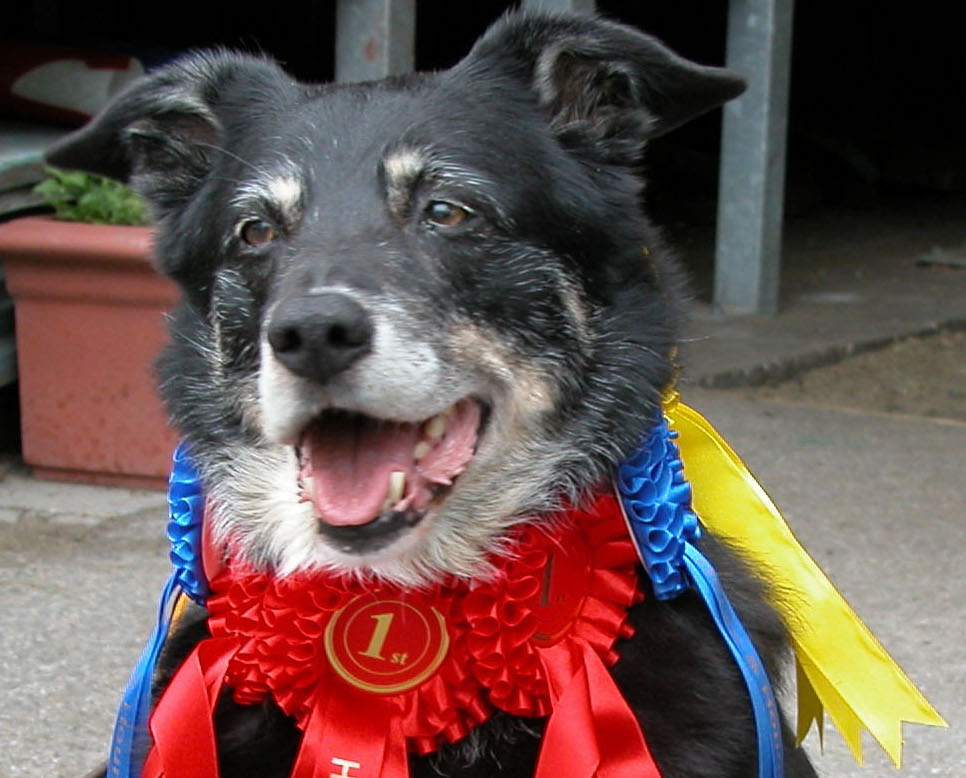 Collie Shepherd with winning rosettes